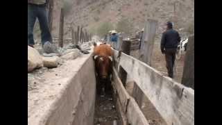 Rodeo de Campo en Illapel: 2500 vacunos retornan de la Cordillera al Valle