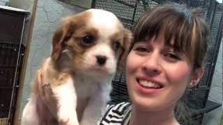 Dharma The Dog -  Cavalier King Charles (1 To 6 Weeks)