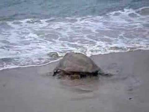 Tortue de mer à Mayotte 2