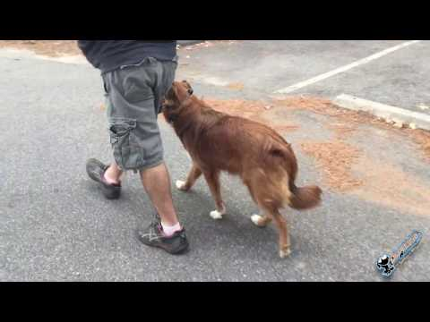 1.5 Year Old Australian Shepherd/Labrador Retriever Mix 'Emmie' Before/After Video | Dog Trainers