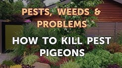 How to Kill Pest Pigeons