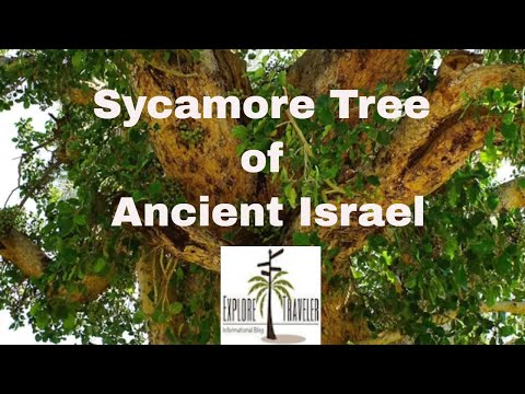 Sycamore Tree In Ancient Israel - Relaxing Israel Nature music