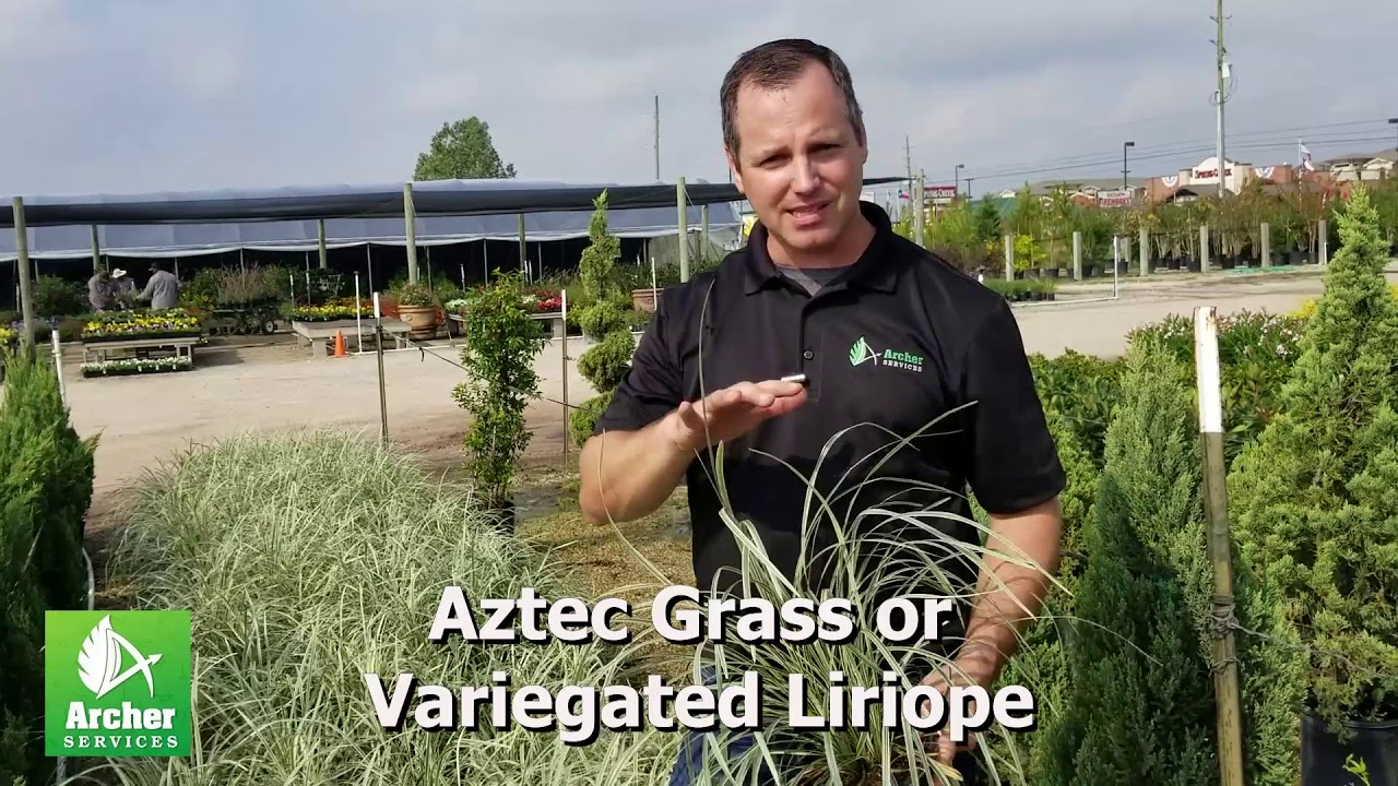 Aztec Grass Or Variegated Liriope Archer Services Youtube