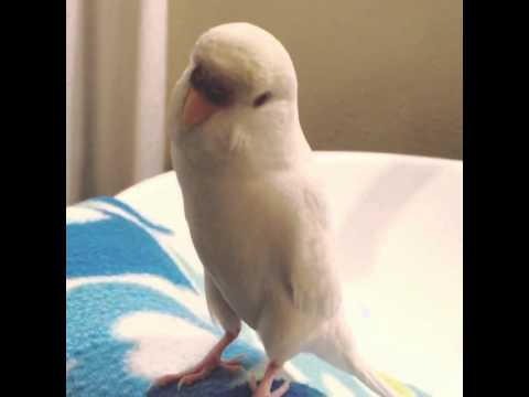 Parakeet making parrotlet sounds