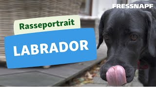 Rasseportrait: Labrador Retriever