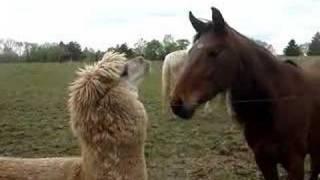 Cute Alpaca Video