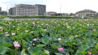 新白岡古代ハス 2010年7月17日FZ38動画