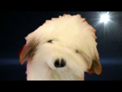 ▶️ DOG BARKING SOUND EFFECT. LITTLE DOG BARKING FOR 12 HOURS. 📢