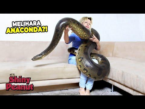 950 Gambar Hewan Anaconda HD
