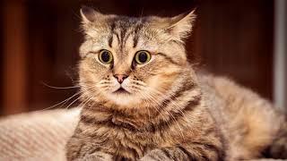 В каком возрасте лучше кастрировать кота?