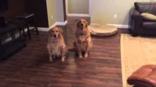 Golden Retriever Brothers Sit And Stay