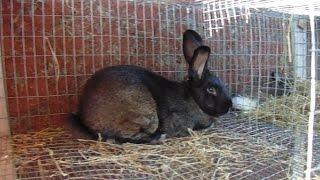 Rabbits - Making a Drop Down Nestbox and Some Rabbit Husbandry