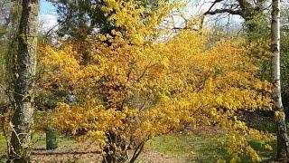 Acer palmatum 'Katsura' video