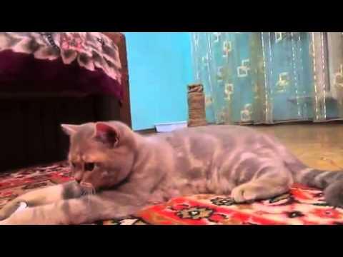 Шотландский страйт кот 6мес лиловый мрамор  ПРОДАН,