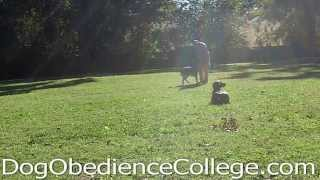 Weimaraner Puppy Elvis Off Leash Obedience Practice Memphis