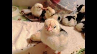 Инкубация цыплят - с первого дня до вывода