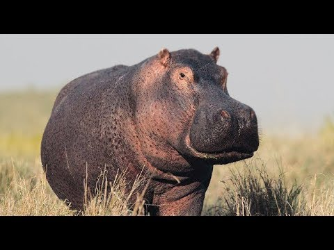Animal Voices for Kids (Hippo Sounds) / Hippo Sound Effect