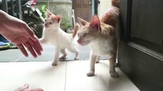 Download Video Menjinakkan Kucing Kampung Liar MP3 3GP MP4
