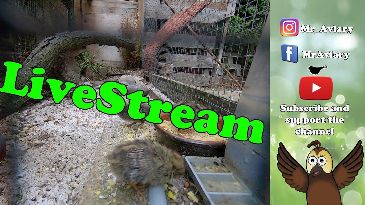 LiveStream Quails, see the CHICKS grow up.