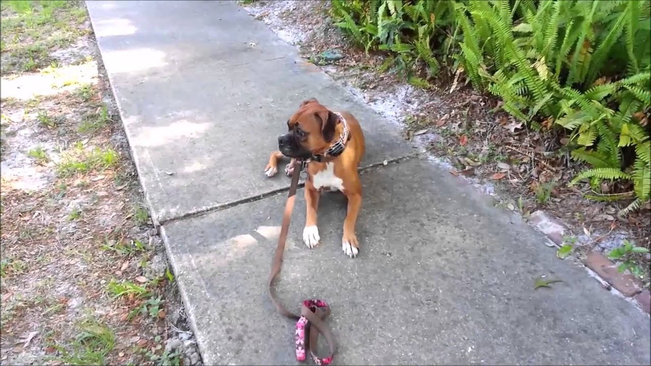 Aggressive Boxer Calm Near Barking Dogs