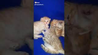 Манчкин, коротколапые котята. Продажа