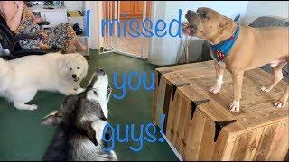 My Dog Reunited With Grandma & Besties   Husky Madness