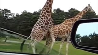 giraffes mating on loop