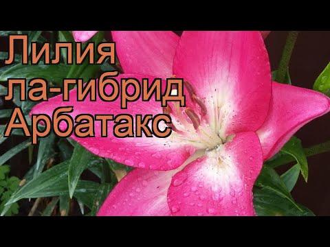 Лилия ла-гибрид Арбатакс (lilium) �� лилия Арбатакс обзор: как сажать луковицы лилии Арбатакс