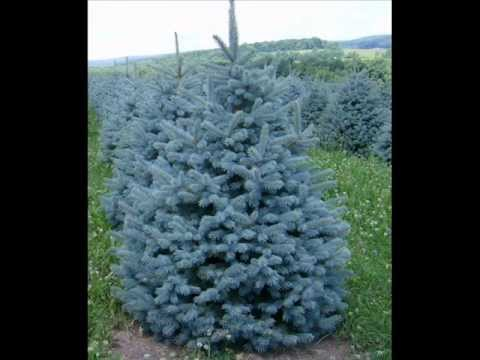 Plant A Blue Spruce Tree