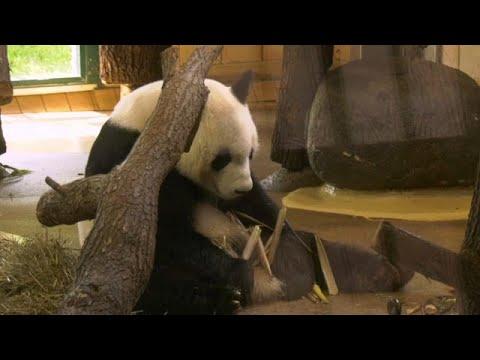 شاهد: مسؤولون نمساويون في استقبال الباندا العملاقة -يوان يوان- …  - نشر قبل 8 دقيقة