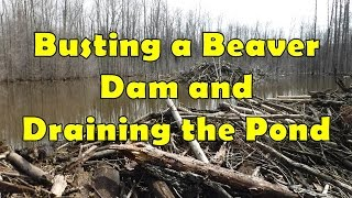Busting a Beaver Dam and Draining the Pond thumbnail