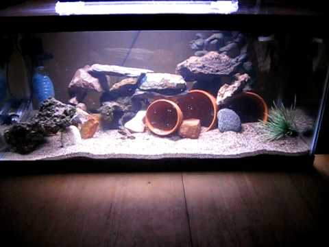 African cichlid tank update  YouTube