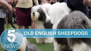 Old English Sheepdog made famous by Dulux classed as vulnerable breed | 5 News