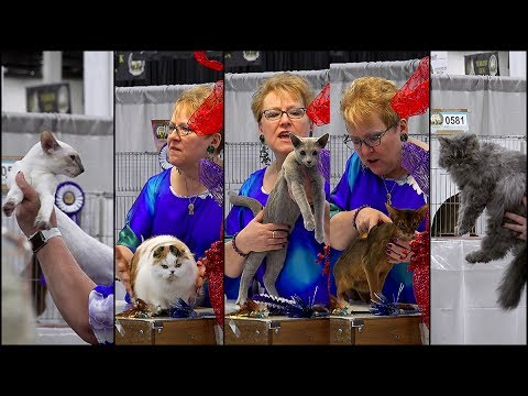 CFA International 2016 - Rachel Anger's shorthair kitten final
