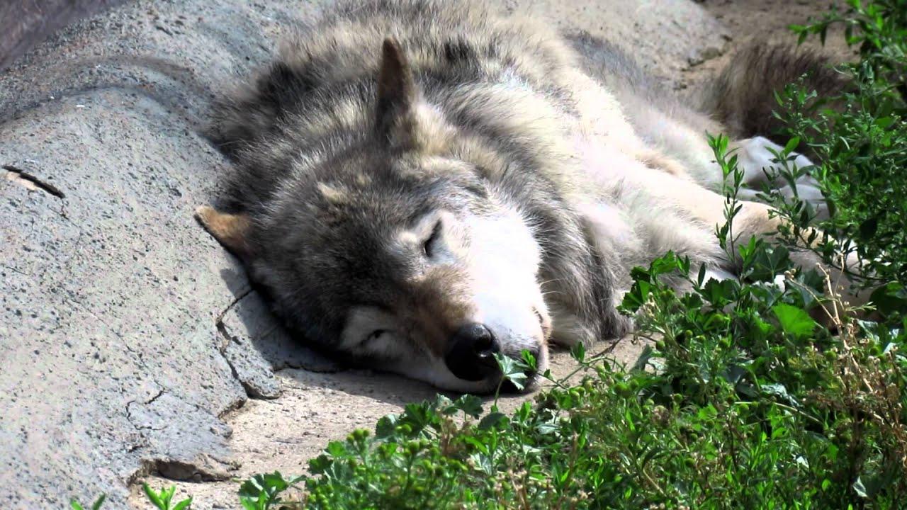 Стоящий волк картинки