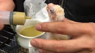 Handfeeding to Kakariki Kaytee社の高脂肪タイプのイグザクトフォーミ...