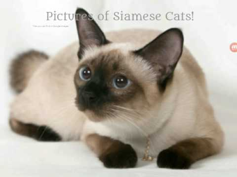 Pictures of Siamese Cats