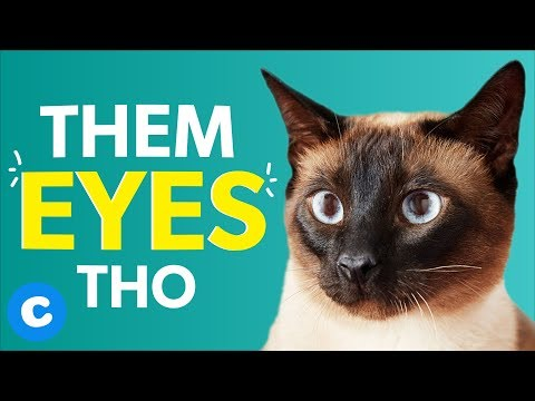 8 Things Only Siamese Cat Owners Will Understand | Chewy