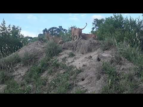 Lion Cubs From Nkuhuma Pride Playing #DeepWildLife #BigCats