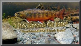 """""""The Brook Of Life"""" - """"Newfoundland Brook Trout"""""""