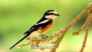 Video Masked Shrike & صرد مقنع & birds download MP3, 3GP, MP4, WEBM, AVI, FLV Juli 2018