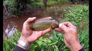 Mancing Ikan Puyu Teknik Pelampung ...