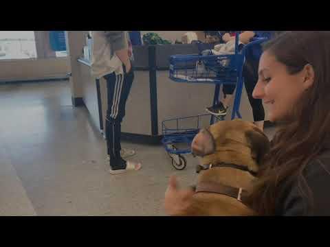 1-year-old-cane-corso/bulldog/mastiff- -best-dog-training -off-leash-k9- -board-and-train- -oklahoma
