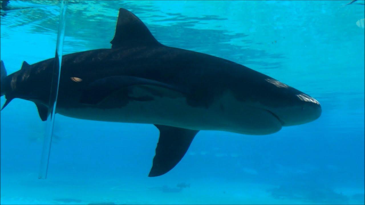 The 1918 Broughton Island Shark - Australian Megalodon Sighting