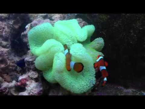 Green Carpet Anemone with Common Clownfish - YouTube