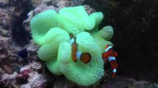Green Carpet Anemone with Common Clownfish