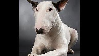 Sobre los tipos de Bull Terrier