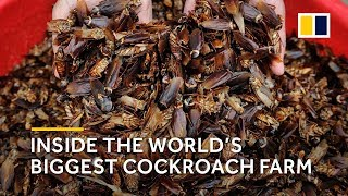 China: Inside the world's biggest cockroach farm