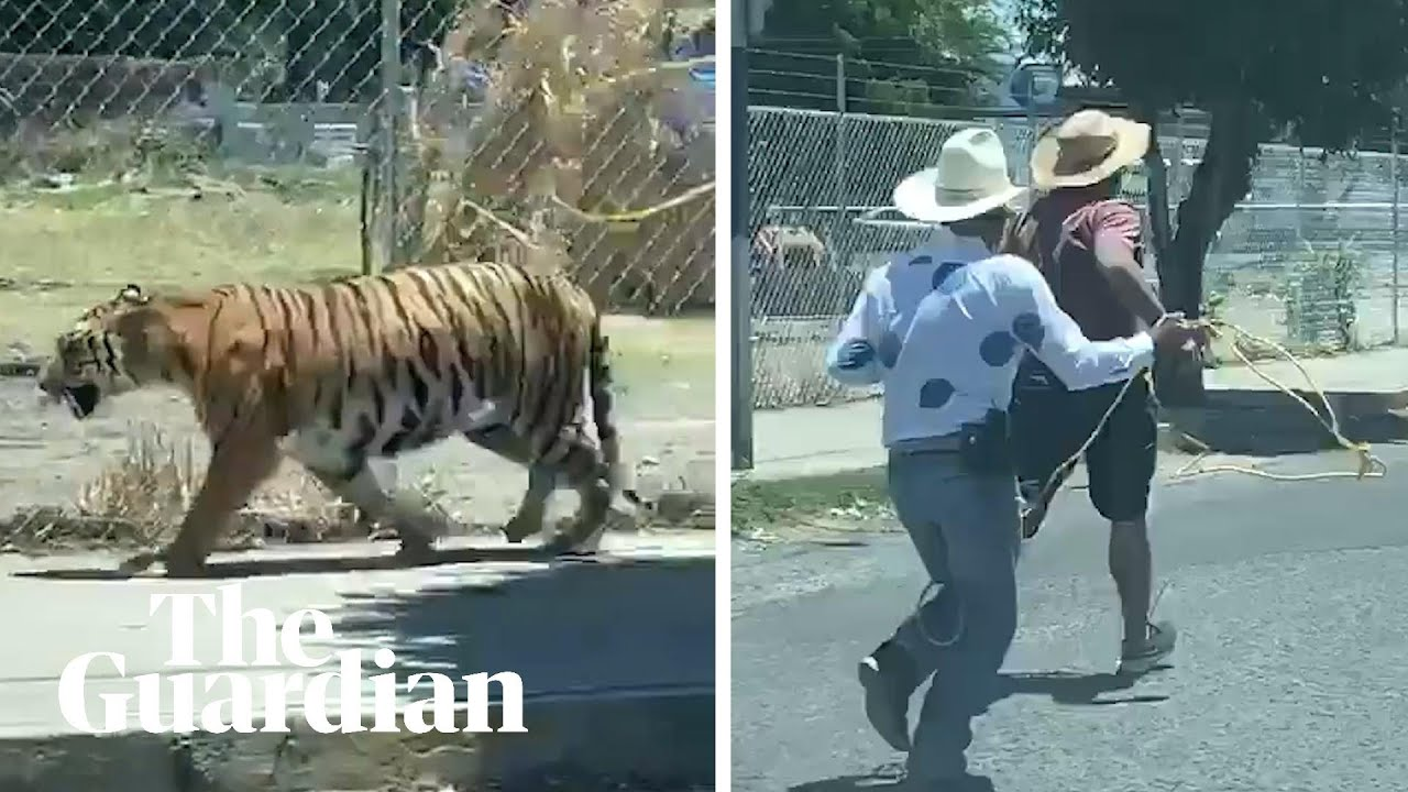 Trio Chase And Lasso Escaped Tiger In Mexico Street Mexico The Guardian