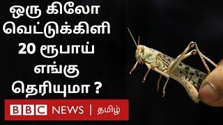 நாசம் செய்த வெட்டுக்கிளியை உயிரோடு பிடித்து அரசிடம்  விற்ற விவசாயிகள் | Locust Attack